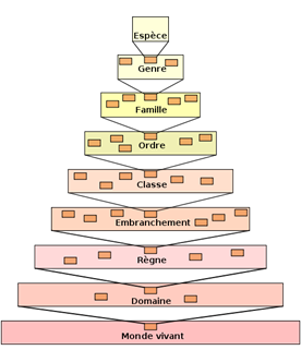 Taxonomic_hierarchy